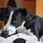 Quién debe pagar la factura del veterinario cuando 2 o más perros se pelean
