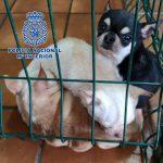 La Policía desmantela 2 criaderos ilegales de chihuahuas y pomerania y rescata 270 perros