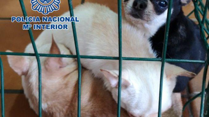criaderos ilegales de chihuahuas 2