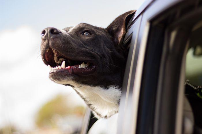 perro vacaciones viaje coche