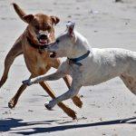 El 75% de los propietarios de perros peligrosos desconoce la ley