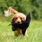 La amputación del rabo a los perros de caza podría continuar